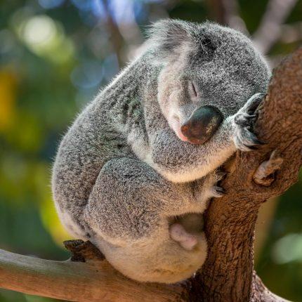 Koalasmall