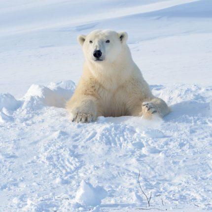polarbearsmall